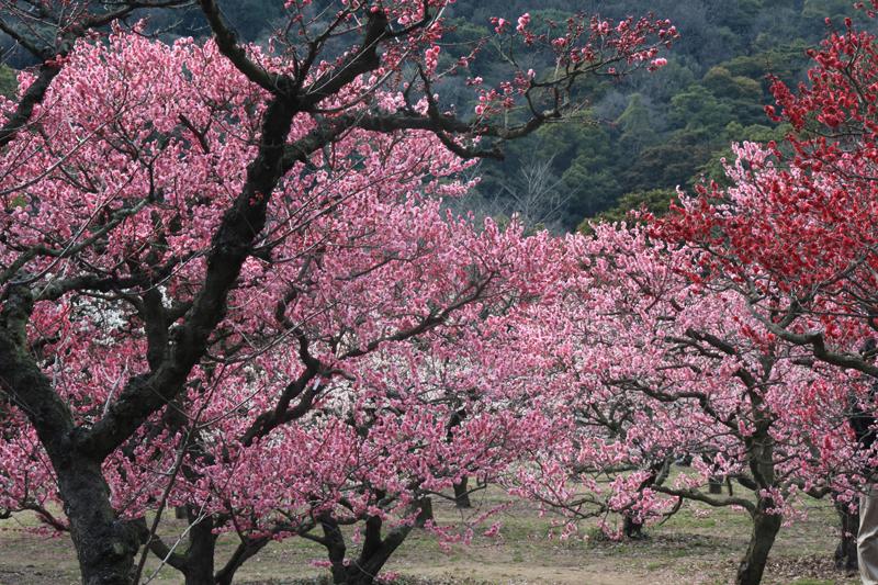 【特別名勝 栗林公園】梅の花が見頃を迎えています!